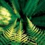 Waipoua Forest ferns among the Kauri trees