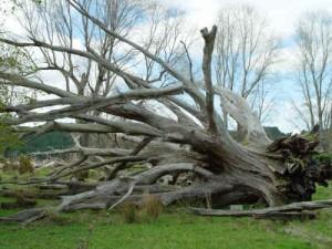 Mission Oak in Moehau
