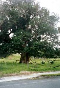 Governor's Tree